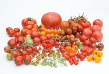 Wide-ranging tomato variety created based on our rich genetic resources