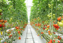 A large glass greenhouse where fresh tomatoes are grown