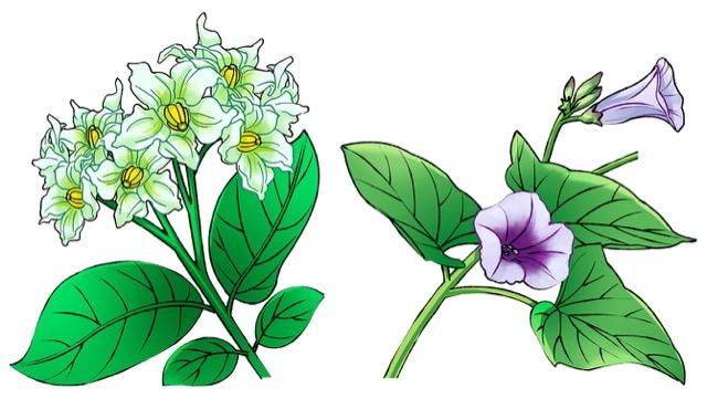 じゃがいもの花はなすに、さつまいもの花はアサガオに似ている